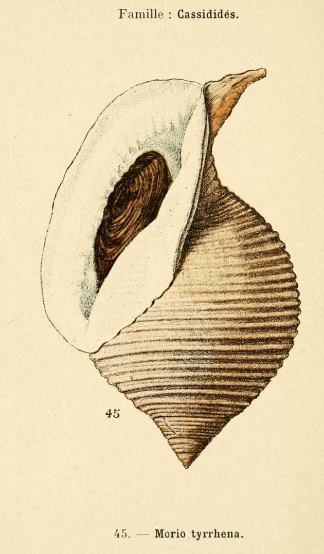 morio-tyrrhens-cassidides