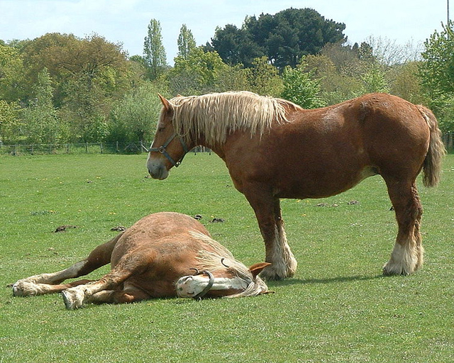 cheval-trait-breton1