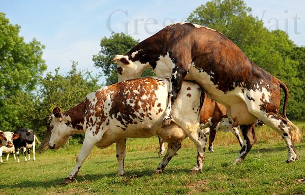 Vache Normande 03