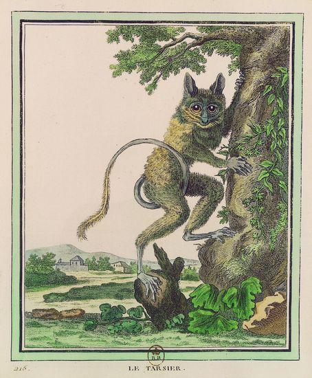 1312476-Buffon_Collection_des_animaux_quadrupèdes__le_tarsier
