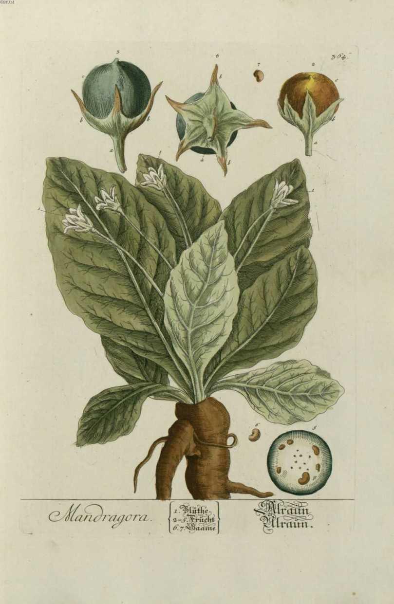 gravure_plante_medicinale_-_mandragora (1)