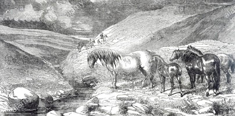 une-gravure-representant-des-poneys-exmoor-a-partir-d-un-flux-d-eau-potable-un-poney-exmoor-est-une-race-chevaline-originaire-d-iles-britanniques-en-date-du-19e-siecle-rj95c7