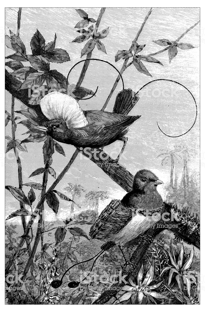 Antique engraving illustration: Bird of paradise and King bird of paradise